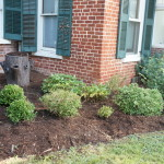 Smith McDowell House foundation plantings