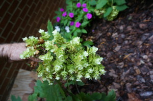 Close up of new variety of oakleaf hydrangea. Stays relatively small (c.4') vs 7-8' for larger variety.
