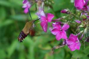 A daily visitor laps up the sweetness of pink phlox in Don Ziermann and Ed Smith's garden.