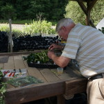 Gerry Hardesty propagating cuttings to be raised for sale.